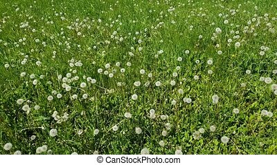 Top view of white dandelions in meadow