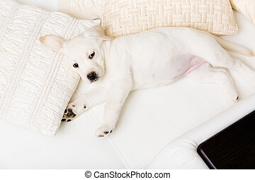 Top view of white puppy lying on the side