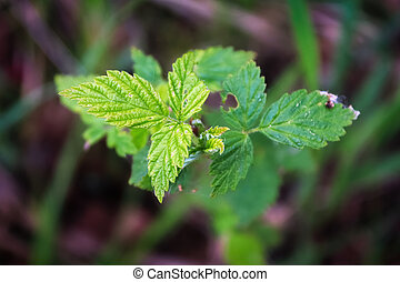 Top view of wild raspberry leaves in the grass