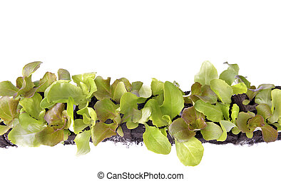 top view on leaf of lettuce seedlings in dirt on white background