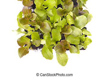top view on leaf of lettuce seedlings in square on white background