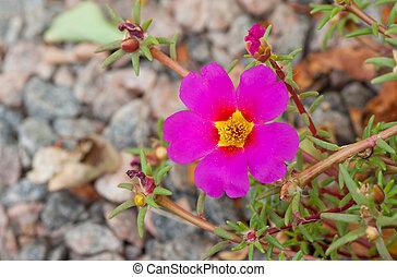 Top view on portulaca flowering plant in garden