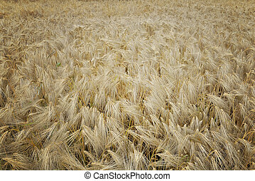 top view on textured field of grain