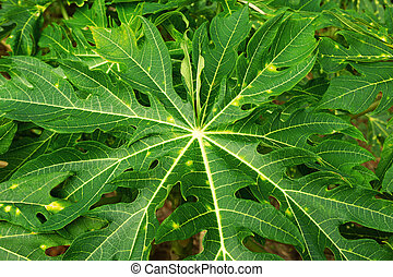 Top view on the green leaves of papaya tree, closeup.