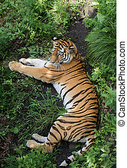 Top view on tiger who lies in the green overgrown.