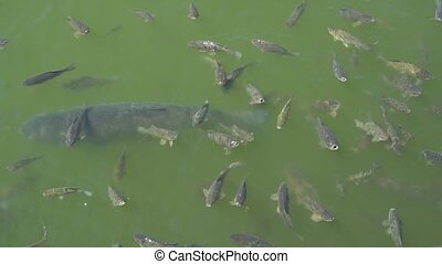Top view shot of Koi fish, Fancy Carp are swimming in pond