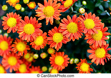 top view small yellow and orange colors chrysanthemum flowers