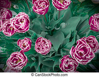 Top view tulips