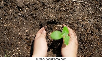 Top view of hands planting organic plant seedling in fertile ground and covering it with soil. Concept of growth, new life, environment protection and organic planting on farms