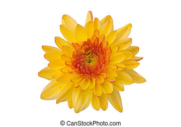 Top view Yellow chrysanthemums on a white background