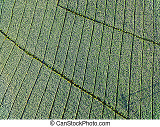 Top Views, Aerial Views of Fields and Agricultural Parcel, Cabbage plantation