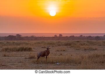 Topi at sunrise in the Masai Mara