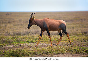 Topi on savanna in Serengeti, Africa - Topi, a grassland...