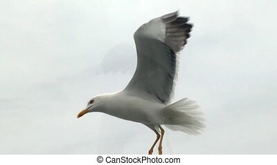 Topic of North sea travel - seagulls over waves - Herring...