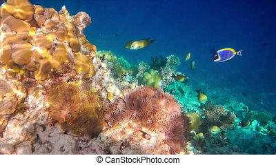 Topical saltwater fish ,clownfish - Coral reef in the...