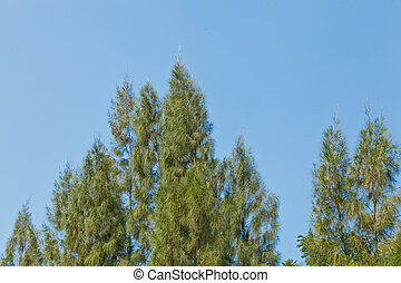 topo, árvore, pinho
