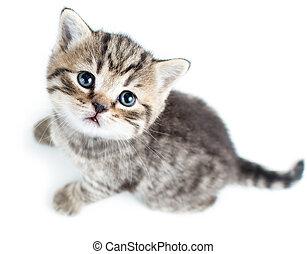 topp se, av, baby, katt, kattunge, vita, bakgrund
