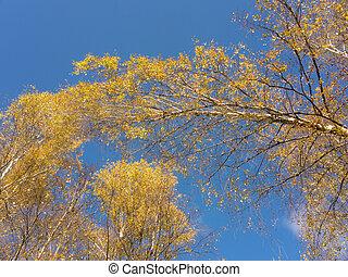 tops of autumn birch trees