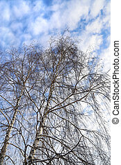 Tops of birches against a blue sky