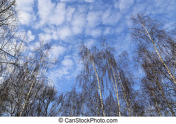 Tops of birches against a blue sky with white clouds