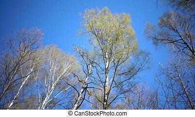 Tops of birches with young spring leaves against the background of the blue sky in sunny day