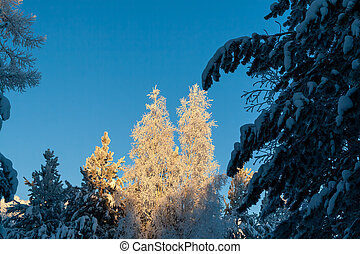Pine forest in winter.
