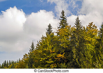Tops of pine trees in autumn