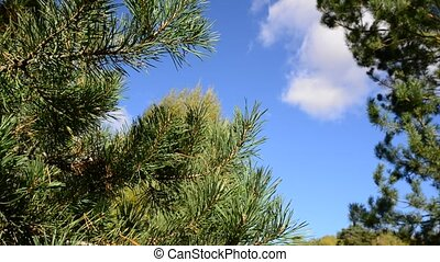 tops of pines against the blue sky