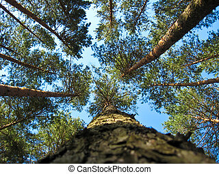 Tops of pines on a background blue the sky