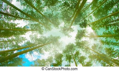 Tops of tall pine trees in the forest. Looking up to the canopy