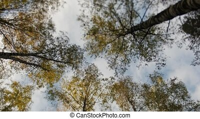 Tops of the trees covered with yellow leaves in autumn park,...