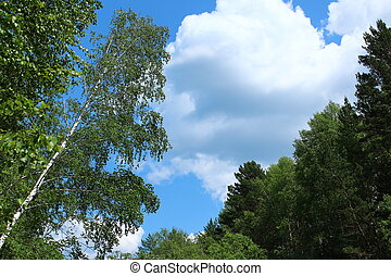 Tops of trees in the forest on the sky background