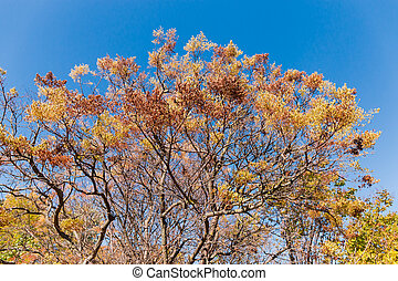 Tops of trees with autumn leaves against clear sky