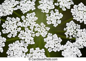 Topview, fresh dill blossoms, anethum graveolens plant at the heyday, Achillea millefolium