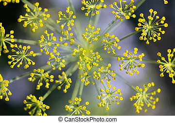 Topview, fresh dill blossoms, anethum graveolens plant at the heyday, wild herb