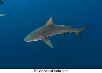 The topview of a bull shark swimming along, Mozambique