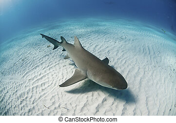The topview of a lemon shark swimming along the sea bed, Bahamas