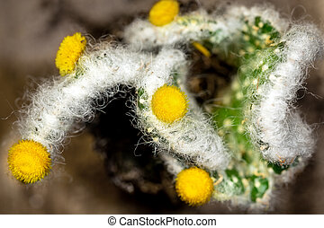 Topview of cactus Austrocylindropuntia with yellow blossoms, closeup
