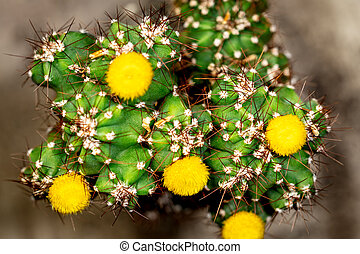 Topview of cactus Cereus Peruvianus Monstrosus with yellow blossoms, closeup