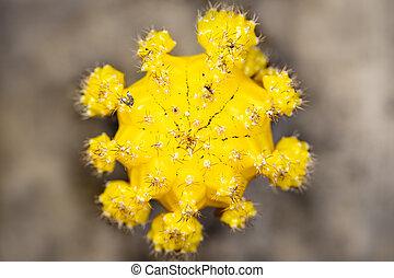 Topview of cactus Gymnocalycium mihanovichii or moon cactus, yellow blossom