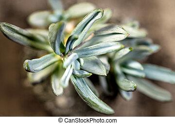 Topview of succulent Senecio serpens or blue chalksticks, macro, brown background