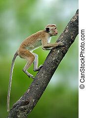 Toque macaque, Macaca sinica. Monkrey on the tree. Macaque in nature habitat, Sri Lanka