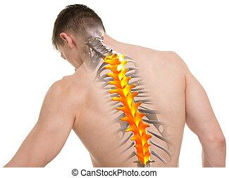 torácico, espina dorsal, anatomía, aislado, blanco