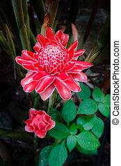 Torch ginger, etlingera elatior flowers, zingiberaceae.