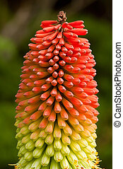Torch Lily - Kniphophia Uvaria - Red Hot Poker - Native to...