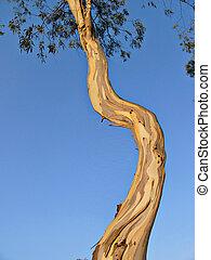 torcido, eucalipto