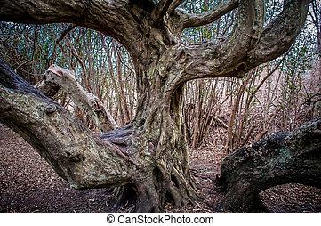 tordu, membres, ancien, tronc arbre