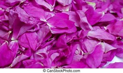 torn petals of red roses