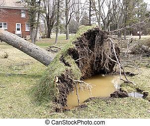 Tornado winds uproot a Pine tree