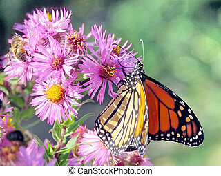 Toronto High Park Monarch and bee on a wild aster 2017
